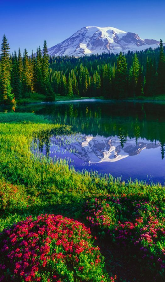 Beautiful Landscape photography : Mt. Rainier and red heather at Reflection Lake...