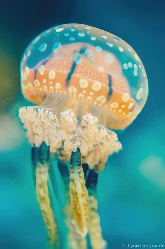 Underwater photography - orange spotted jellyfish underwater ocean print jellyfish k ...