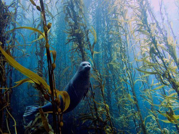 Harbor seal in underwater kelp forest (Cortes Bank near San Diego, California) [...