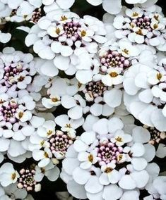 Loop flowers (Iberis) as a white ground cover for fantastic garden form ...