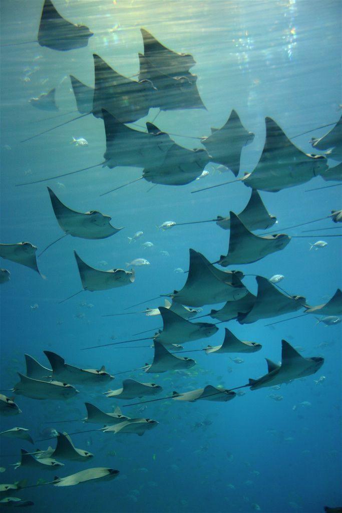 manta rays   marine animal + underwater photography