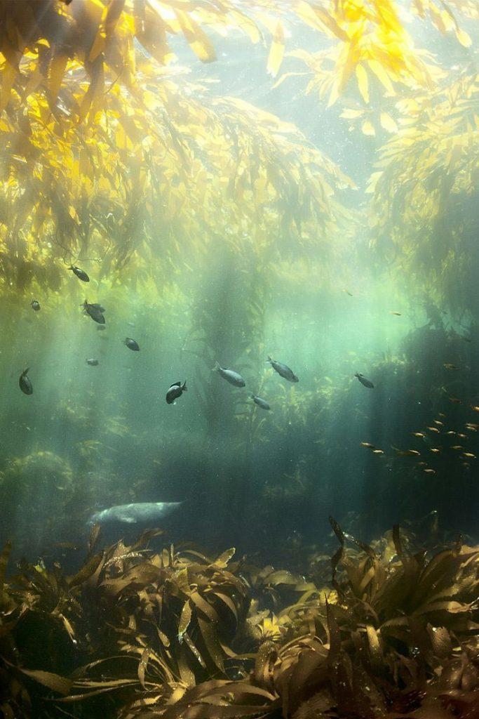 seal in the kelp forest off the coast of santa cruz island   marine animal + und...