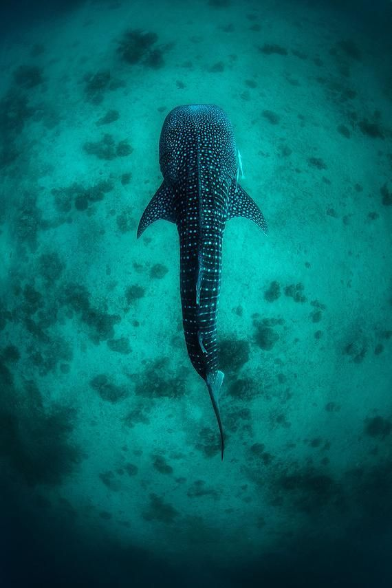 Whale Shark Swimming Over Sandy Reef - Whale Shark Photo - Underwater Photograph...