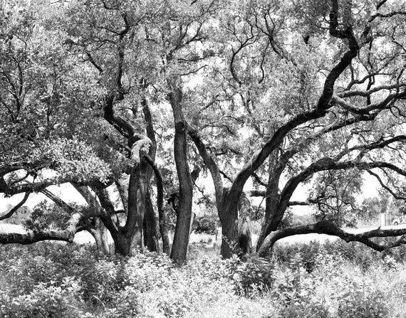 Live Oak Trees Wall Hangings Austin Photography Texas Gift New Apartment Botanic...